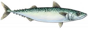 pacific_mackerel_fishid2